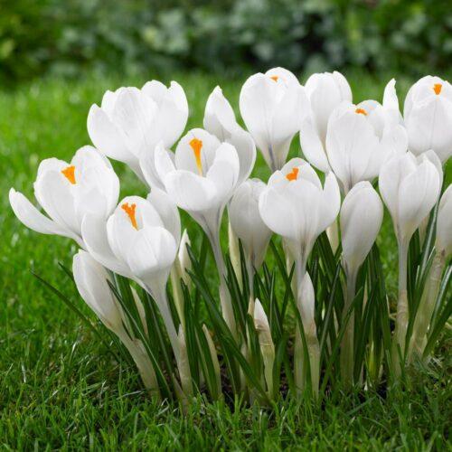 crocus-large-flowering-jeanne-d-arc