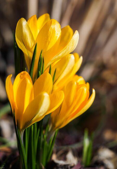 sárga-crocus